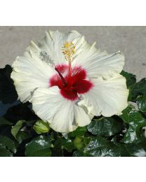 Hibiscia Boreas White