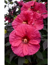 "Hibiscus ""Summerific"" Evening Rose"