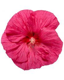 """Hibiscus """"Summerific"""" Evening Rose"""