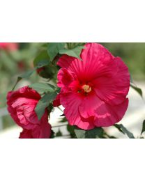 "Hibiscus ""Summerific"" Sultry Kiss"