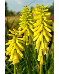 Kniphofia Lemon Popsicle