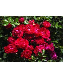 Rosa s. Drift Red