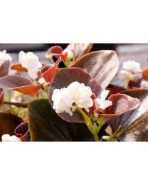 Begonia Doble Coco White