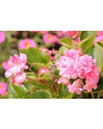 Begonia Doble Dark Pink