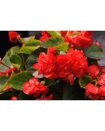 Begonia Doble Red