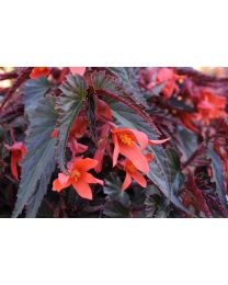 Begonia Summerwings Dark Elegance