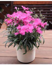 Dianthus Suntory  Pink