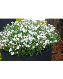 Dianthus Waikiki White