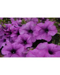 Conchita Grande Lavender