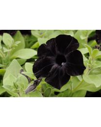 Crazytunia Black Mamba