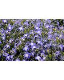 Lobelia Lobelix Blue with Eye