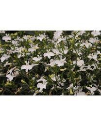 Lobelia Lobelix White