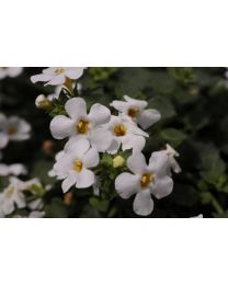 Bacopa Sutera Everest Ice