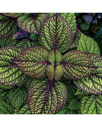 Coleus Fishnet Stocking