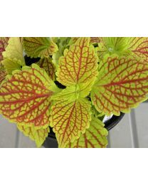 Coleus Golden Dreams