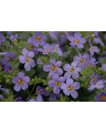Bacopa Sutera Everest Blue