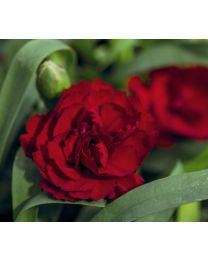 Dianthus Dinamic Dark Red
