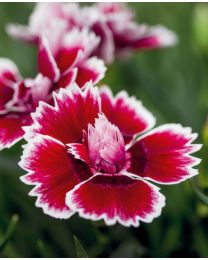 Dianthus Dinamic Red & White