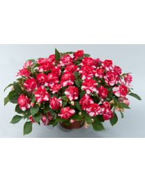Impatiens Musica Bicolor Cherry