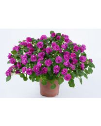 Impatiens Musica Electric Purple