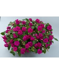 Impatiens Musica Fine Purple