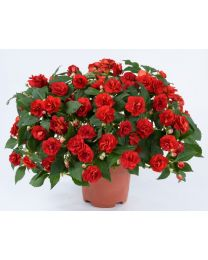 Impatiens Musica Red Crimson