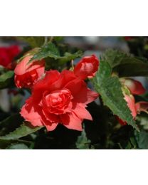 Begonia Belleconia Salmon