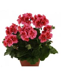 Pelargonia TRENDIX Coral Eye/Trendix Lisa Hot Coral