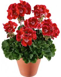 Pelargonia TRENDIX Red Eye
