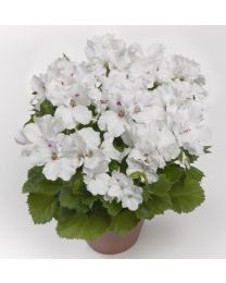 Pelargonia Grandiflora Aristo Snow