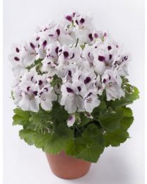 Pelargonia Grandiflora Aristo White with Eye 12 cm