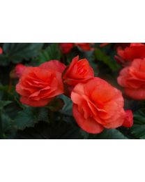 Begonia Solenia Orange