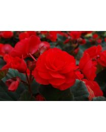 Begonia Solenia Red Improved