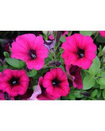 Petunia Veranda Purple