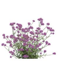 Verbena Bonariensis Purple Tower