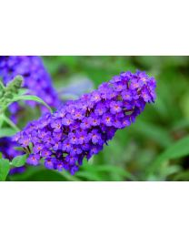 Buddleja Buzz Pink Purple