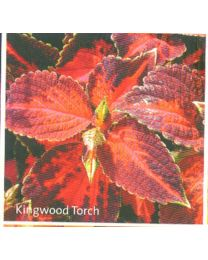 Coleus Kingwood Torch