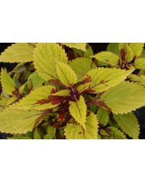 Coleus Pineapple Splash