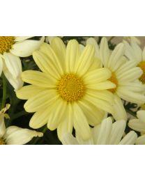 Argyranthemum Go Daisy Yellow