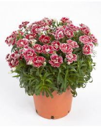 Dianthus Colori Joy