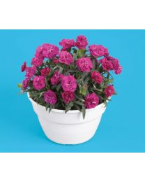 Dianthus Roselly