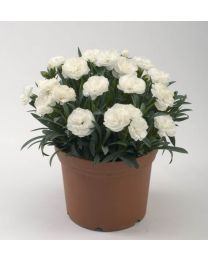 Dianthus Roselly White