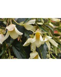 Begonia Summerwings Vanillia Elegance