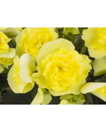 Begonia Solenia Yellow
