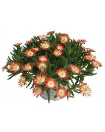 Delosperma Royal Ranger Red