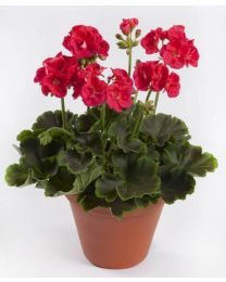 Pelargonia Chocolate Cherry
