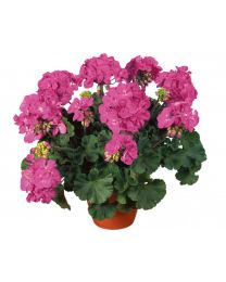 Pelargonia Giotto Improved
