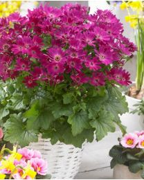 Senetti Magic Red