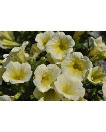 Petunia Veranda Lemon Bells