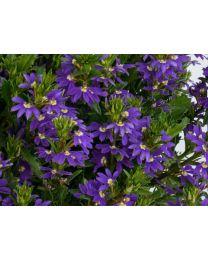 Scaevola Purple Haze